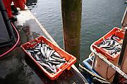 fresh fish in fishbox on wharf
