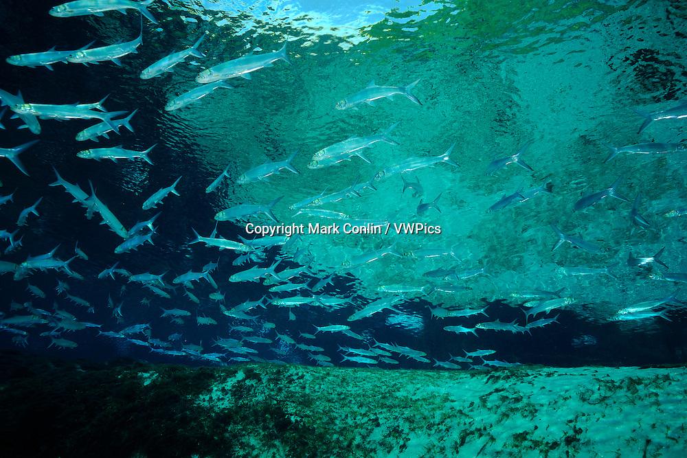 Ladyfish, Elops saurus, Silver Glen springs, Florida
