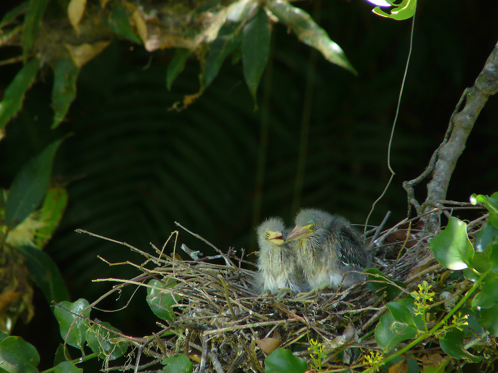 EN&gt; green heron chicks wait for their mother in their nest | <br />