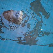 November 6, 2012 - Brooklyn, NY : The baby walrus, Mitik, is seen swimming in a pool where his is being kept in quarantine inside the New York Aquarium's medical facility on Tuesday afternoon.  CREDIT: Karsten Moran for The New York Times