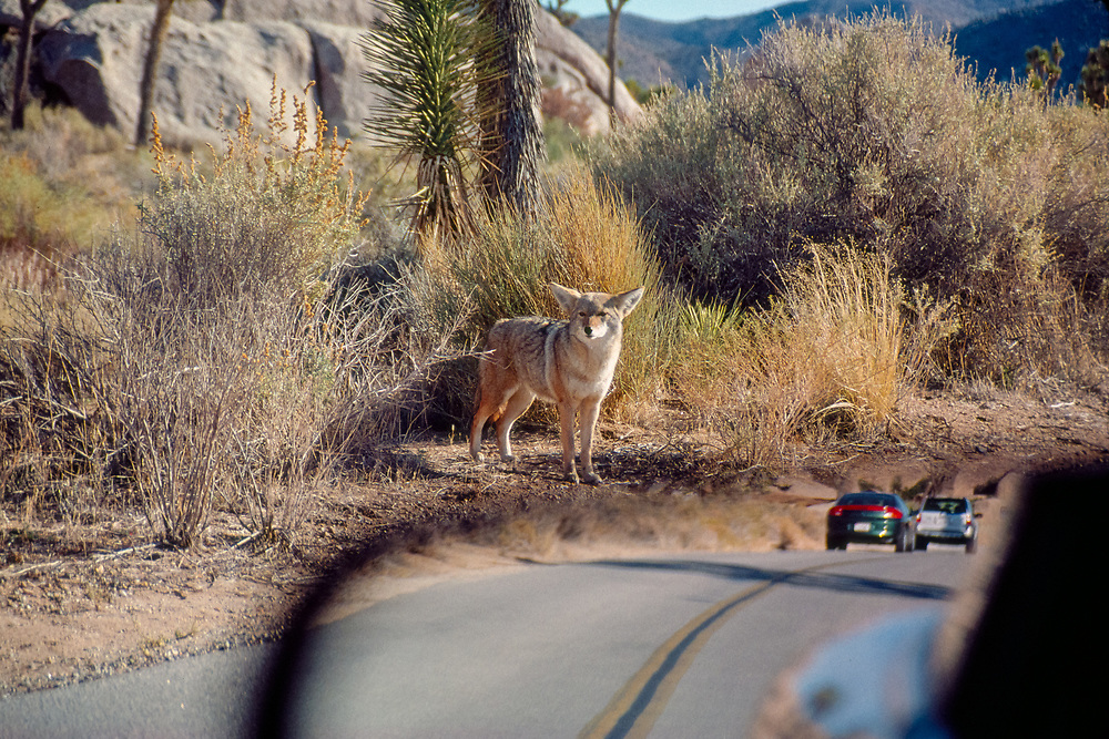 Coyote in Joshua Tree National Park standing on roadside with traffic visible in rear view mirror