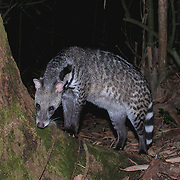 Civets of Thailand