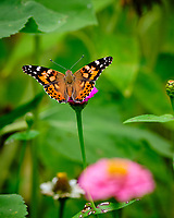 Painted Lady Butterfly. Image taken with a Fuji X-T2 camera and 200 mm f/2 lens