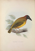 Mottled weaver (Ploceus cucullatus collaris listed Ploceus collaris ), from Zoologia typica; or, Figures of new and rare animals and birds described in the proceedings, or exhibited in the collections of the Zoological Society of London. By Fraser, Louis. Zoological Society of London. Published London, March 1847