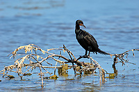 Double-crested Cormorant (Phalacrocarax auritus),   'Ding' Darling' National Wildlife Refuge, Sanibel Island, Florida, USA