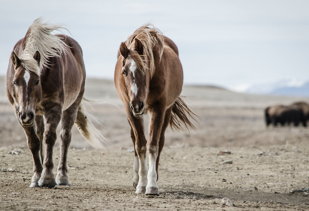 Fine art photograph of two horses on a dry prarie landscape.<br /> <br /> AVAILABLE AS:<br /> <br /> Size 20&rdquo; x 16&rdquo; (50.8cm x 40.6cm approx)*<br /> Edition of ONLY 100 at this size.<br /> US$350 + shipping<br /> <br /> Hand printed in Taos, New Mexico, USA by Taos Print and Photography Services using archival inks and fine art paper. signed and numbered by hand.<br /> <br /> Contact jim@jimodonnellphotography.com to order