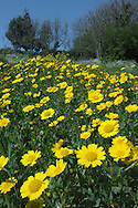 CORN MARIGOLD Chrysanthemum segetum (Asteraceae) Height to 50cm. Attractive, hairless and upright annual that grows in arable fields and cultivated ground, usually on acid, sandy soils. FLOWERS are borne in heads, 3-6cm across, with orange-yellow disc florets and yellow ray florets; heads are solitary (Jun-Oct). FRUITS are achenes. LEAVES are narrow, deeply lobed or toothed, and slightly fleshy; upper leaves clasp the stem. STATUS-Possibly introduced to the region but now widespread, although range and abundance is decreasing.