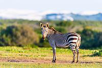 Cape Mountain Zebra in open grassland, De Hoop Nature Reserve, Western Cape, South Africa