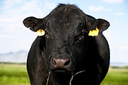 Beef Cattle & Ranching - Sample Gallery