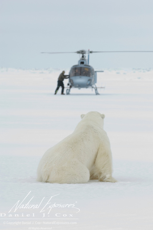 A large male polar bear, sedated with immobilizing drugs, watches Dr. Steve Amstrup exit from the capture helicopter. Beaufort Sea pack ice, Kaktovik, Alaska