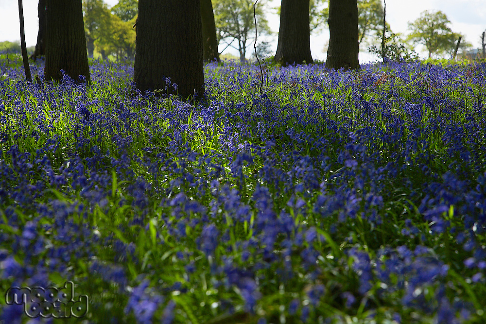 Purple Wildflowers in Forest