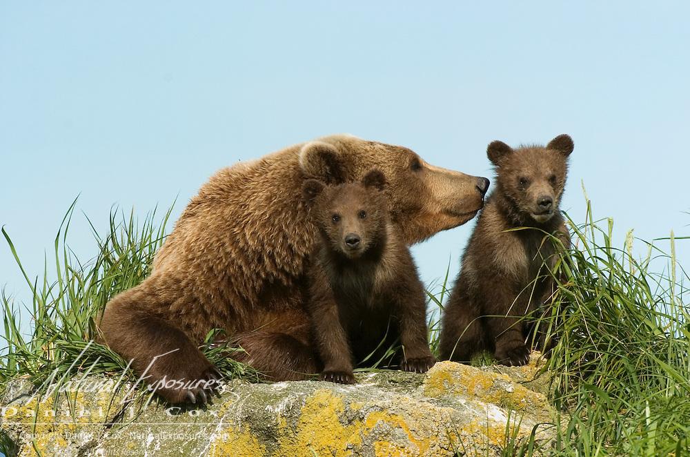 Alaskan Brown Bear (Ursus middendorffi) mother and two cubs on rocks.  Katmai National Park, Alaska