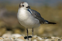 Laughing Gull, (Larus atricilla), from Causeway between Fort Myers and Sanibel Island, Florida, USA