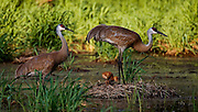 Two Sandhill Cranes with two chicks prepare their nest just after sunset.  Cranes nest in wetlands to have warning from predators.  Photo by Tom Lynn