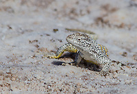 A Fabian's lizard at Chaxa Lagoon, a salt water lake outside San Pedro de Atacama, north Chile