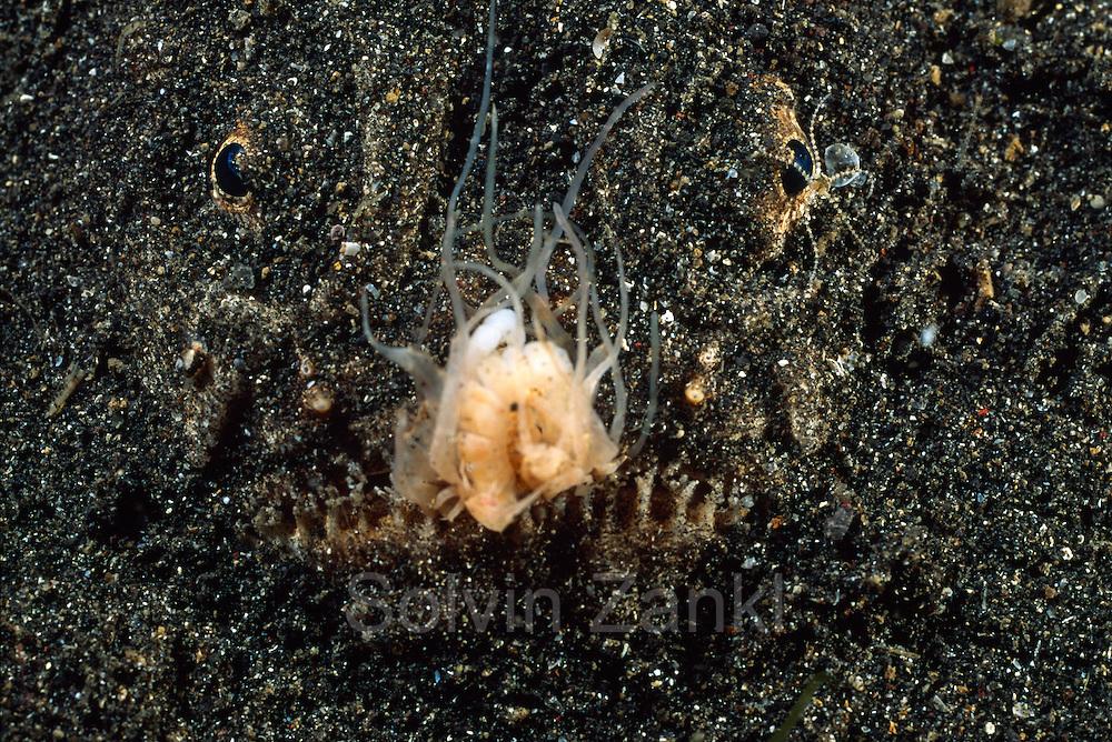 Stargazer (Uranoscopus sulphureus) with lure - In addition to the top-mounted eyes, stargazers also have a large upward-facing mouth in a large head. Their usual habit is to bury themselves in sand, and leap upwards to ambush prey (benthic fish and invertebrates) that pass overhead. Some species have a worm-shaped lure growing out of the floor of the mouth, which they can wiggle to attract prey's attention. | Sterngucker (Uranoscopus sulphureus) mit Lockorgan - Die Himmelsgucker (Uranoscopidae) sind eine Familie von Fischen der Ordnung der Barschartigen Ihr Name rührt daher, dass sie meistens im sandigen oder schlammigen Boden vergraben sind und nur die hochstehenden Augen an der Oberseite des Kopfes sichtbar sind. Außerdem sind die meisten Arten mit einem Giftstachel ausgestattet. Als Köder zum Anlocken von Beutetieren dient einigen Arten ein wurmartiger Faden am Unterkiefer.