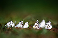 Veined White Butterflies congrgating at moisture, Marataba Private Game Reserve, Limpopo, South Africa