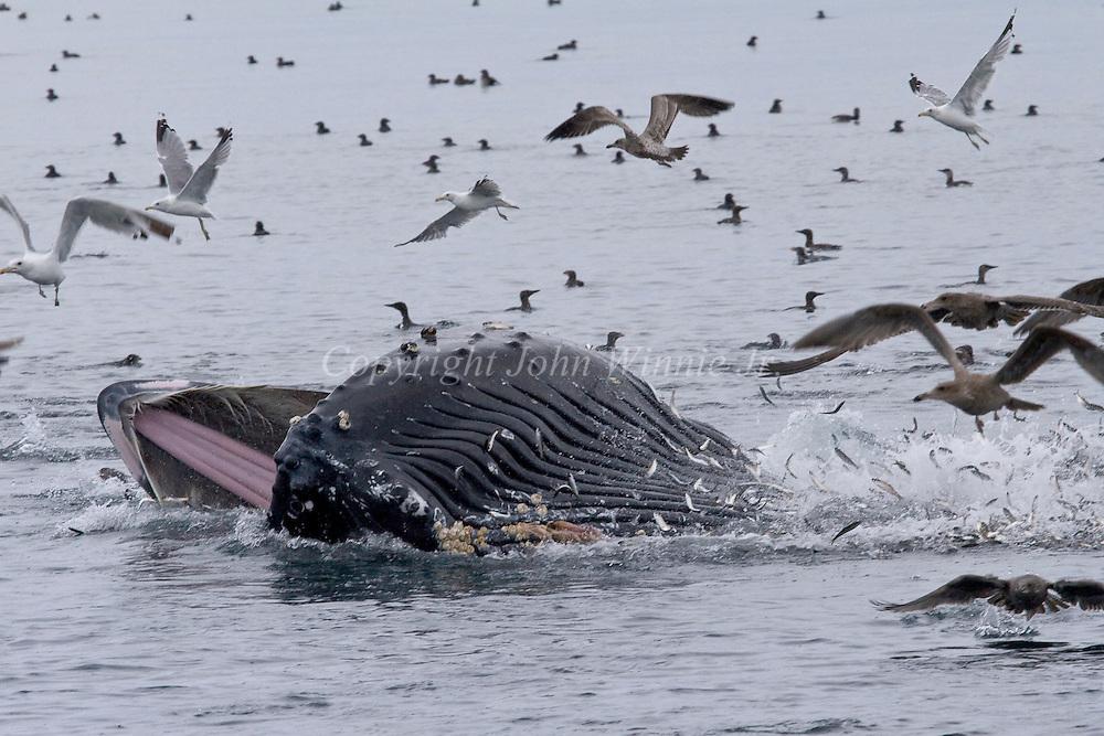 Minke whale feeding on bait ball.  Broughton Archipelago, British Columbia.