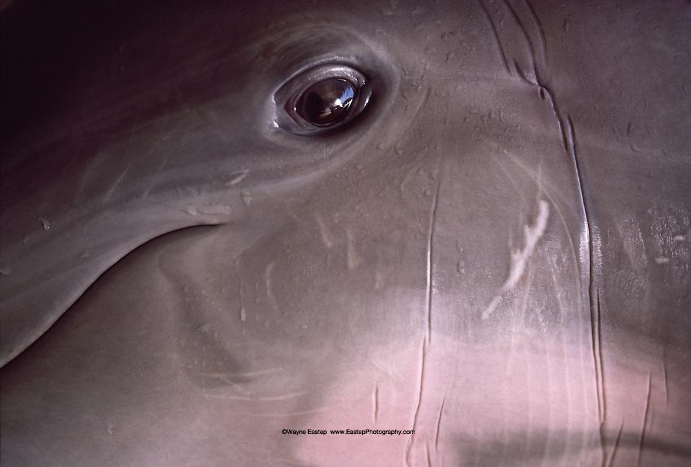 The face of an Atlantic Bottlenose Dolphin (Trusiops truncatus) Gulf of Mexico, Florida