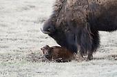 Wildlife: Bison, Calf