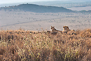 A male and female lion sitting in the grass on Lewa wildlife preserve in Kenya.