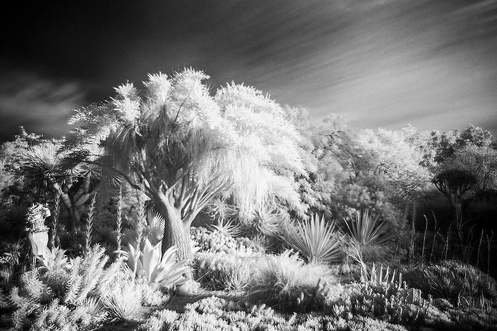 Desert Fauna - Fullerton Arboretum CA - Infrared Black & White