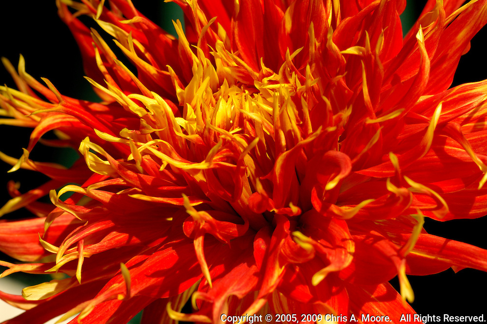 A red and yellow chrysanthemum appears to explode with color at the Denver Botanic Gardens, Denver, Colorado, August 2005.