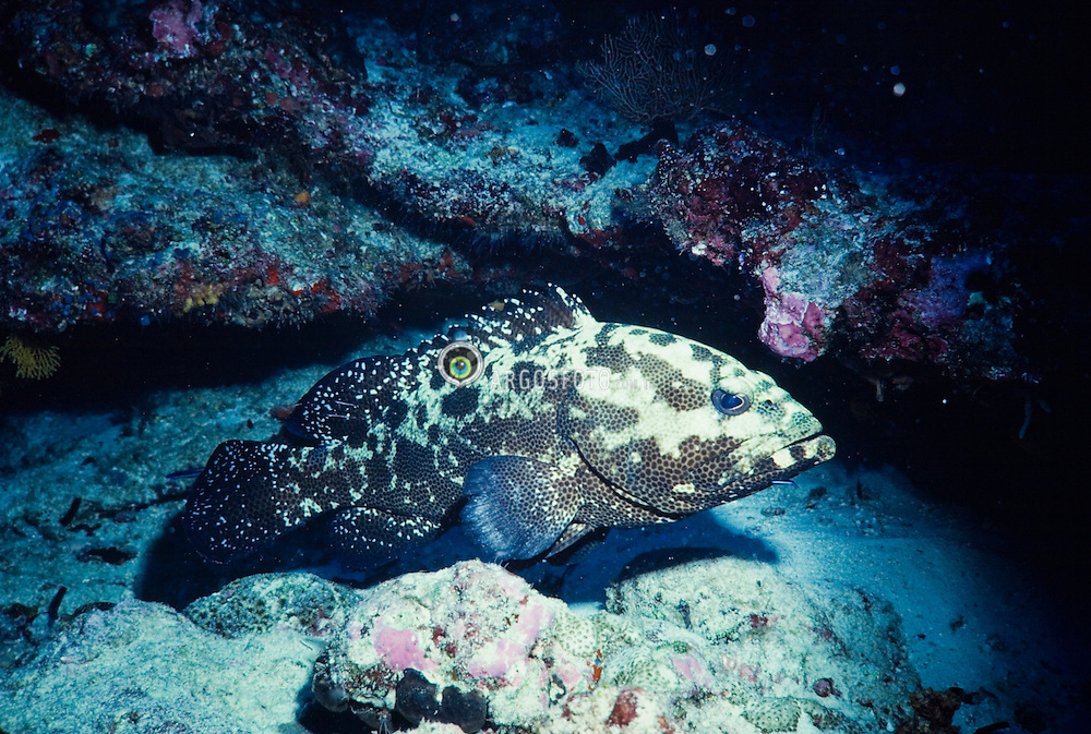 "Australia.Garoupa, peixe da sub-família Epinephelinae, família Serranidae, ordem Perciformes. Tem grande importancia para a pesca e algumas especies sao criadas em instalacoes apropriadas, em zonas costeiras..Sao habitantes dos oceanos tropicais e sub-tropicais e vivem geralmente em fundos coralinos ou rochosos, onde tem o habito de esconderem. Sao predadores activos - a maior parte tem uma boca grande e dentes agucados, por vezes, mesmo no ceu-da-boca. Algumas especies atingem tamanhos enormes - ate 2,40 m e mais de 300 kg de peso. Muitas tem cores brilhantes e padroes de coloracao muito especiais..As garoupas sao hermafroditas sequenciais do tipo protandrico ./Groupers are fish of any of a number of genera in the subfamily Epinephelinae of the family Serranidae, in the order Perciformes..Not all serranids are called groupers; the family also includes the sea basses. The common name grouper is usually given to fish in one of two large genera: Epinephelus and Mycteroperca. In addition, the species classified in the small genera Anyperidon, Cromileptes, Dermatolepis, Gracila, Saloptia and Triso are also called groupers. Fish classified in the genus Plectropomus are referred to as coral groupers. These genera are all classified in the subfamily Epiphelinae. However, some of the hamlets (genus Alphestes), the hinds (genus Cephalopholis), the lyretails (genus Variola) and some other small genera (Gonioplectrus, Niphon, Paranthias) are also in this subfamily, and occasional species in other serranid genera have common names involving the word ""grouper"". Nonetheless, the word ""groupers"" on its own is usually taken as meaning the subfamily Epinephelinae..Foto: Christiana Carvalho/Argosfoto"