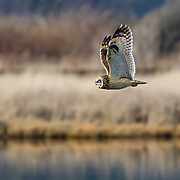 A short-eared owl surveys the marsh along Skagit Bay. Washington.