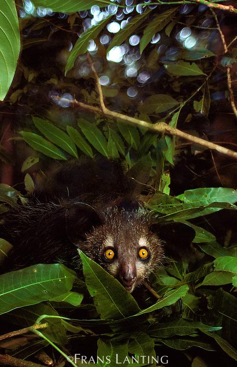 Aye-aye in tree nest, Daubentonia madagascariensis, Madagascar