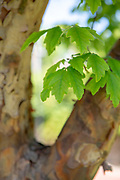 Tree Tour, College GReen, Mapp Athens, Paperbark Maple