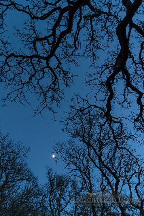 Moon and oak trees on a winter evening, Briones Regional Park, Contra Costa County, California