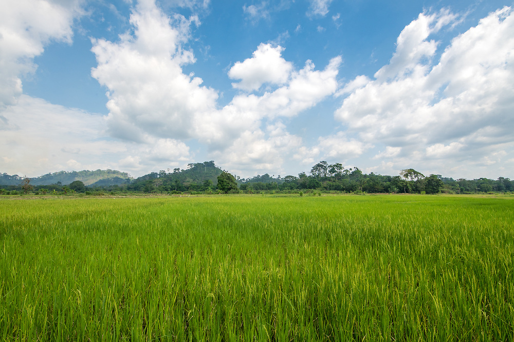An African rice (Oryza glaberrima) field with cloudy skies above, Gbedin village, Nimba County , Liberia
