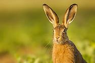 European Hare (Lepus europaeus) young hare in sugar beet crop, South Norfolk, UK. June