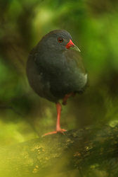 Paint-billed Crake (Neocrex erythrops) in Galapagos, Equador