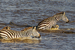 A large crocodile (Crocodylinae) attacking a zebra (Equus quagga) crossing a river during Kenya's great migration, Masai Mara, Kenya