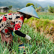 Woman at work in the Parahyangan sawah fields in the highlands of Bandung, West Bandung.<br />
