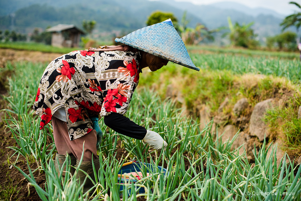 Woman at work in the Parahyangan sawah fields in the highlands of Bandung, West Bandung.<br /> <br /> Rice, vegetables and fruit form the major part of small farming in Indonesia. Small farming is mostly carying out with simple tools and methodes. About 45% of the work in Indonesia is related to agriculture. Many sawah's are found on Java Island.