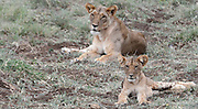 Kenya, Samburu, Lioness and cub