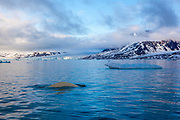 Beluga or white whale, Delphinapterus leucas in Leifdefjorden, northern Svalbard. Leifdefjorden lies within Northwest Spitsbergen National Park (Nordvest Spitsbergen nasjonalpark), and is frequented by tourist shipping traffic.