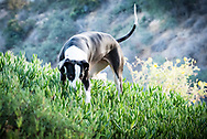 A black and white Great Dane dog with her nose in  succulents on a hillside.