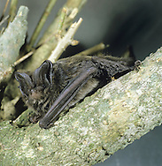 Barbastelle Bat - Barbastella barbastellus Wingspan 25-29cm Medium-sized, dark-looking bat. Adult has long, glossy dark brown fur, darkest on back and palest on the belly. Face is blackish and pug-like. Blackish ears meet in middle of forehead; tragus is triangular. Wings are broad and pointed. Silent within range of human hearing. Very rare, mainly S England and S Wales. Favours undisturbed woodland. Emerges from roosts half an hour or so before sunset. Roosts in tree holes, caves and old buildings in summer, hibernates in trees and caves are also favoured for winter hibernation.