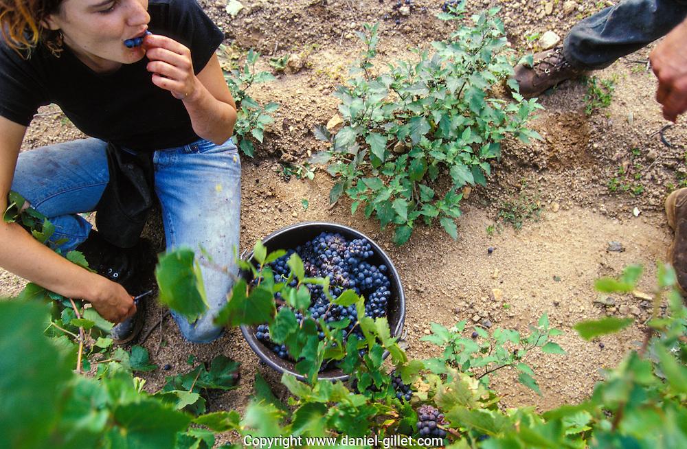 Vendanges dans les vignes, en Beaujolais