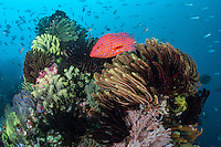 A Coral Grouper poses amongst colorful Crinoids<br /> <br /> Shot in Indonesia