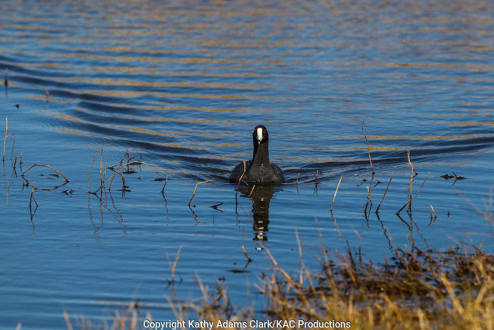 American coot, Fulica americana, Anahuac National Wildlife Refuge, Texas, upper Texas coast, autumn