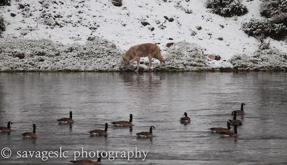 White wolf sneaks along the riverbank as the canada geese keep an eye on her.