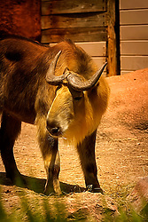 This gorgeous animal is a Takin. They are also called  also called cattle chamois or gnu goat. You can find these goat-antelopes at the Saint Louis Zoo.