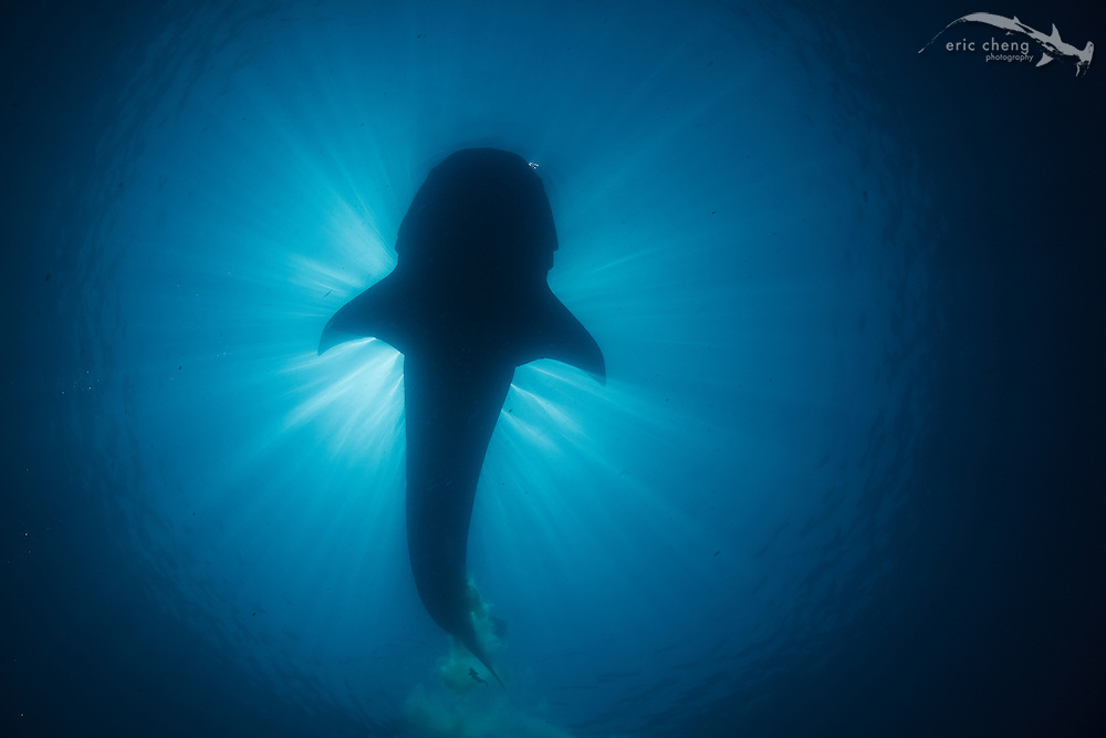 A silhoutte of a pooping whale shark (Rhincodon typus) with a sunball behind it. Isla Mujeres, Mexico.