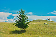 Spruce trees in Grasslands. Thompson Valley, Kamloops, British Columbia, Canada