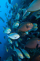 Schooling Surgeonfishes along a steep reef wall<br /> <br /> Shot in Indonesia